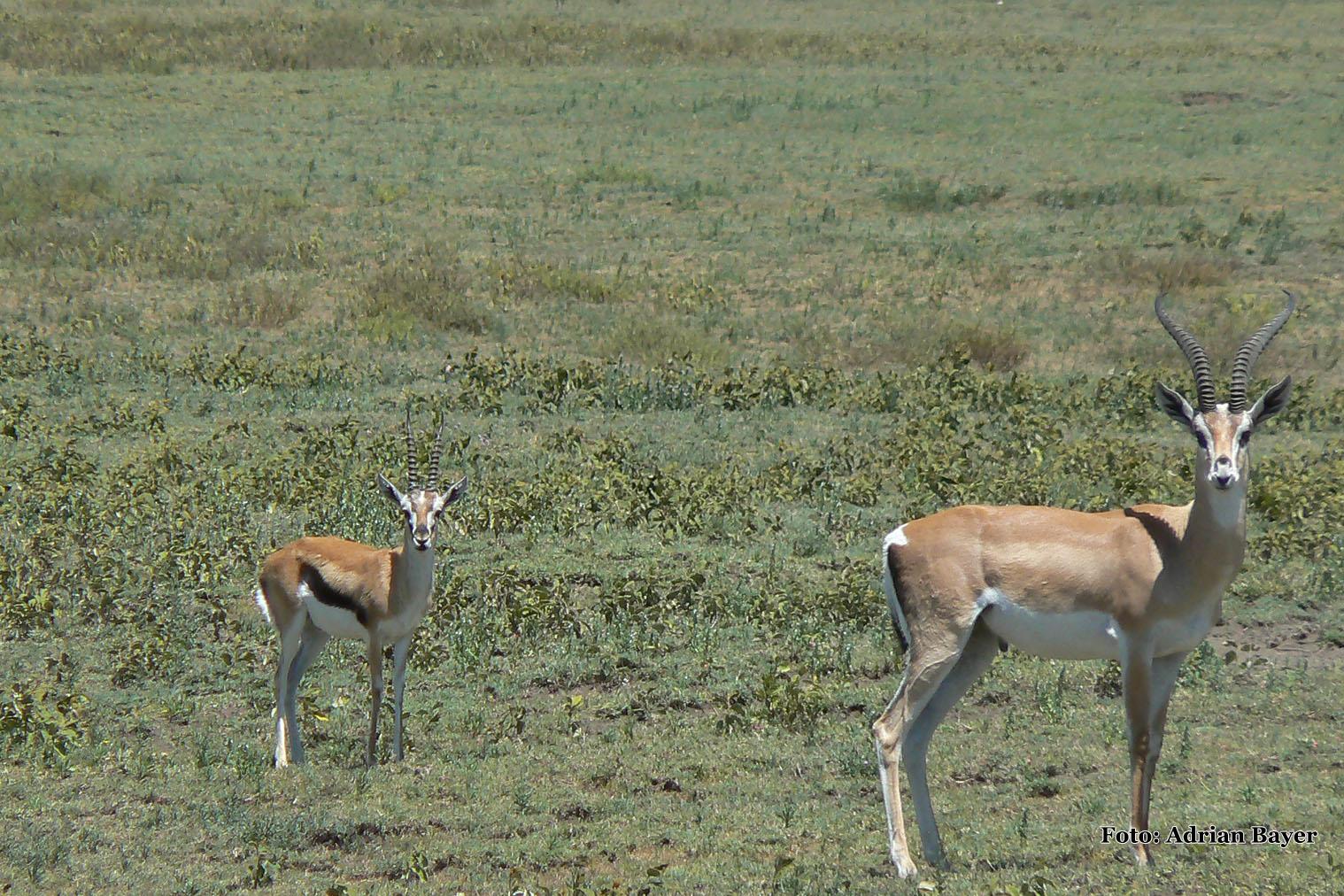 Gazela thomsonova a veľká gazela