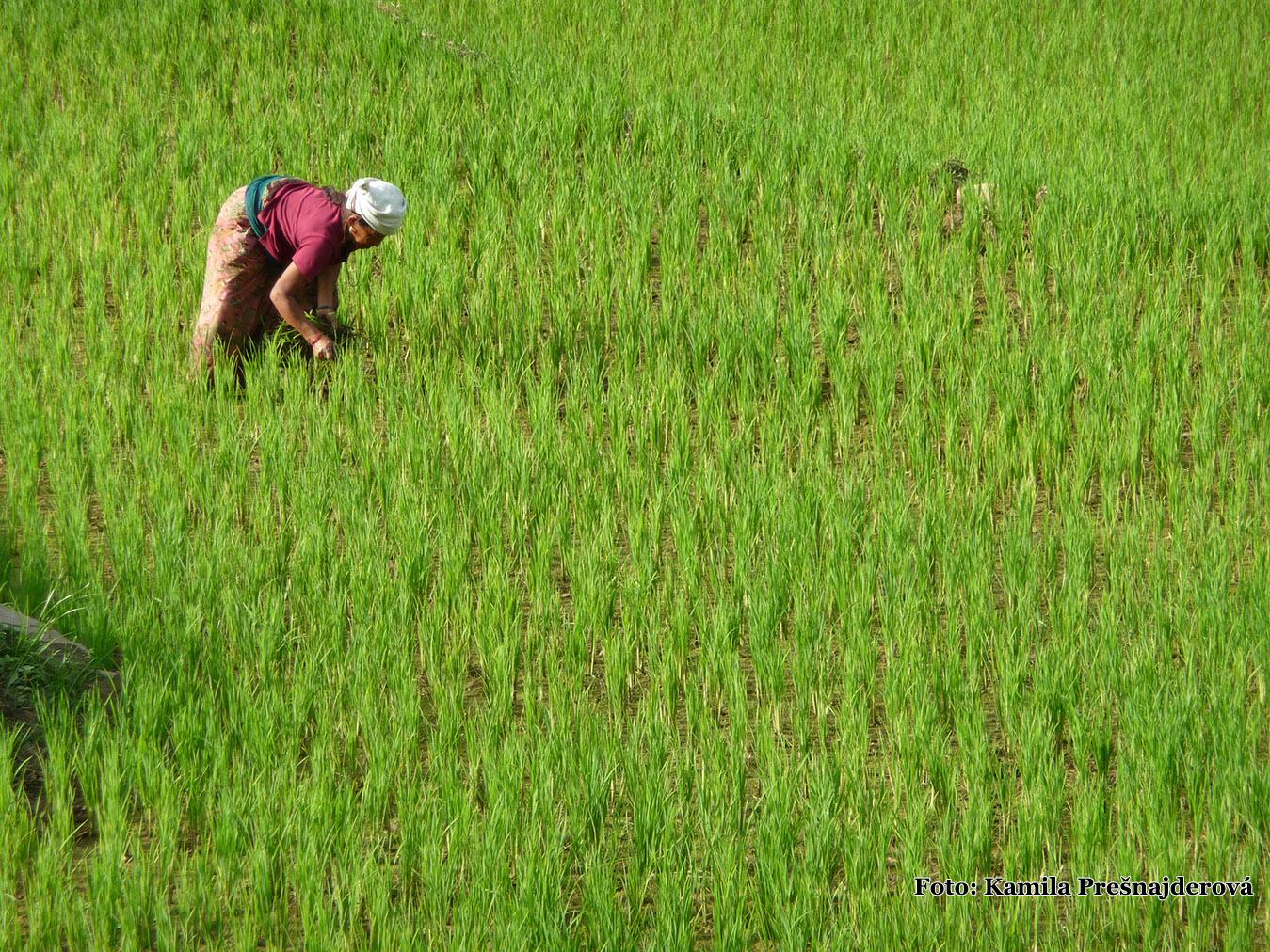 Zber ryže