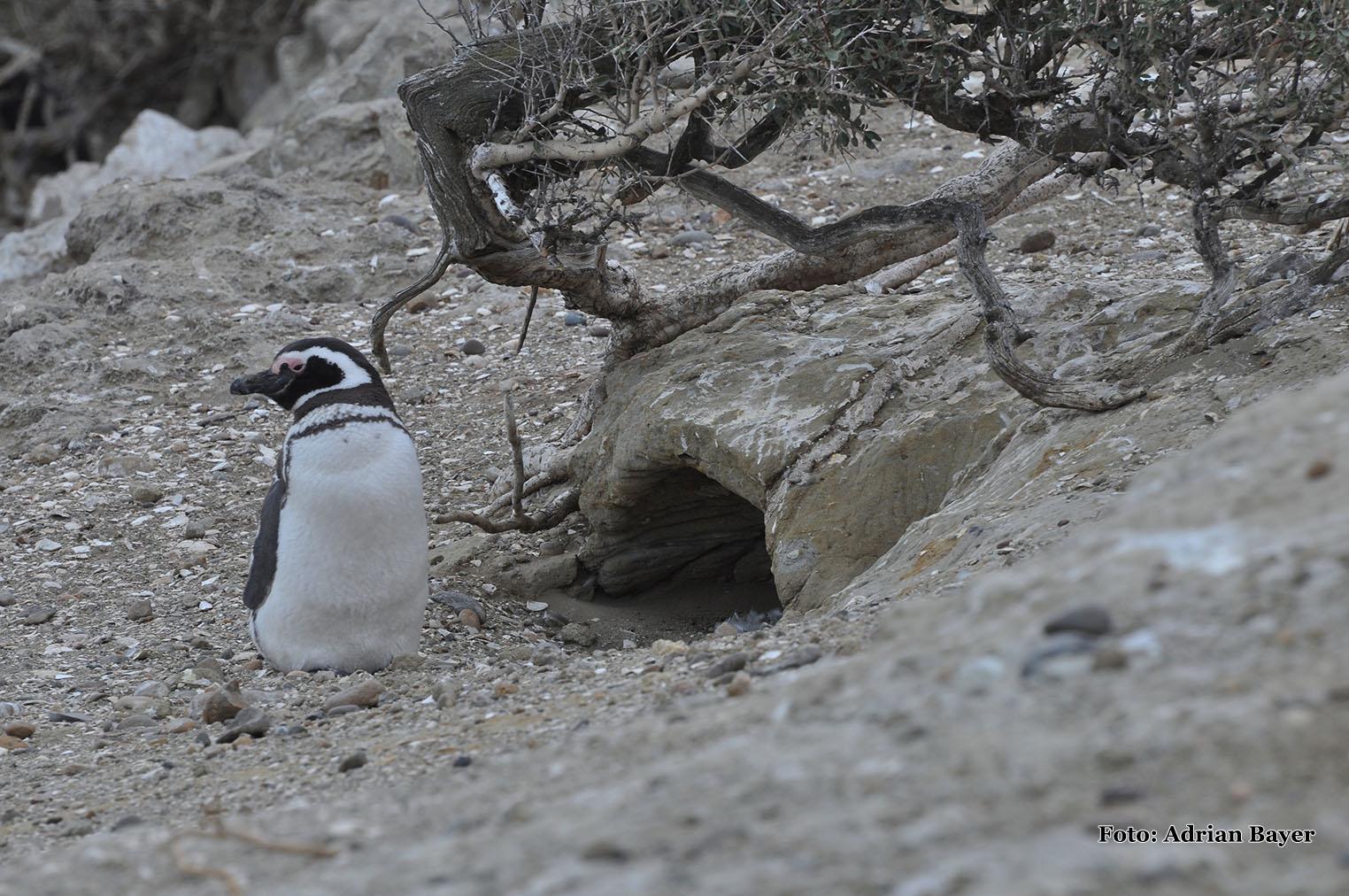 Parque Nacional Monte León-Pinguin de Magalhãesr