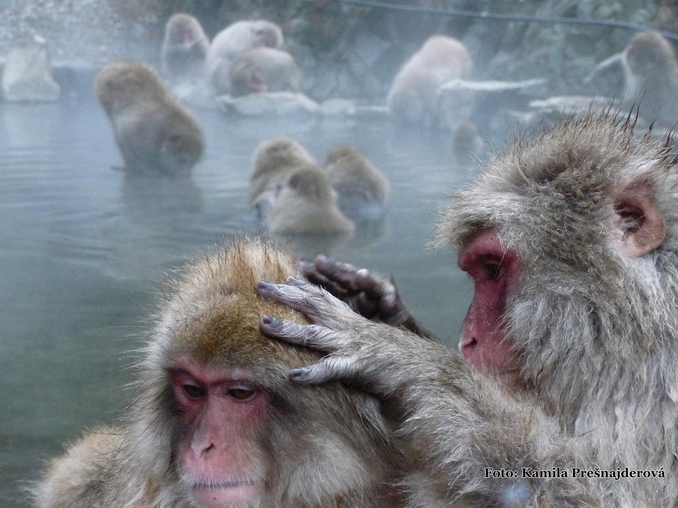 Yudanaka - kúpajúce sa makaky