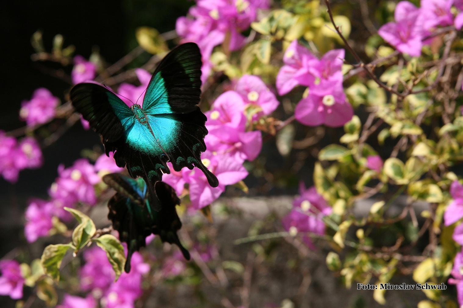 Motýl vidlochvost