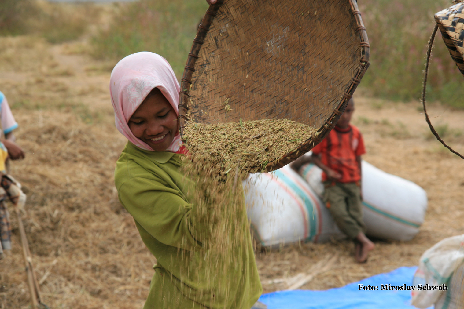 Zber ryže čistenie