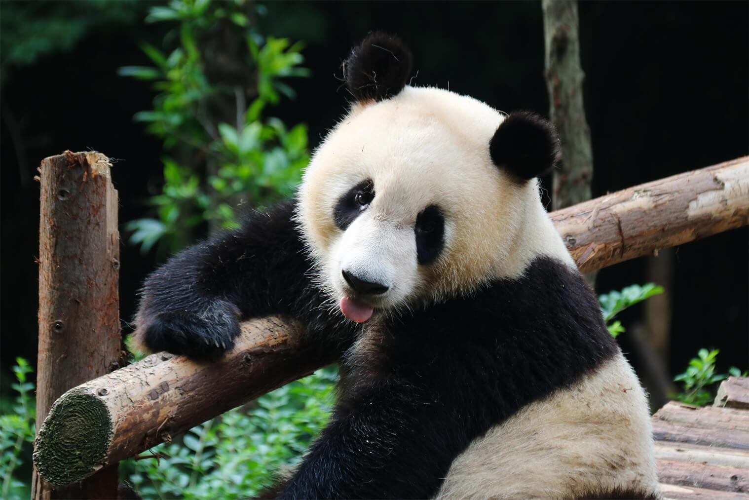 Panda vo vedecko-výskumnom centre v Chengdu
