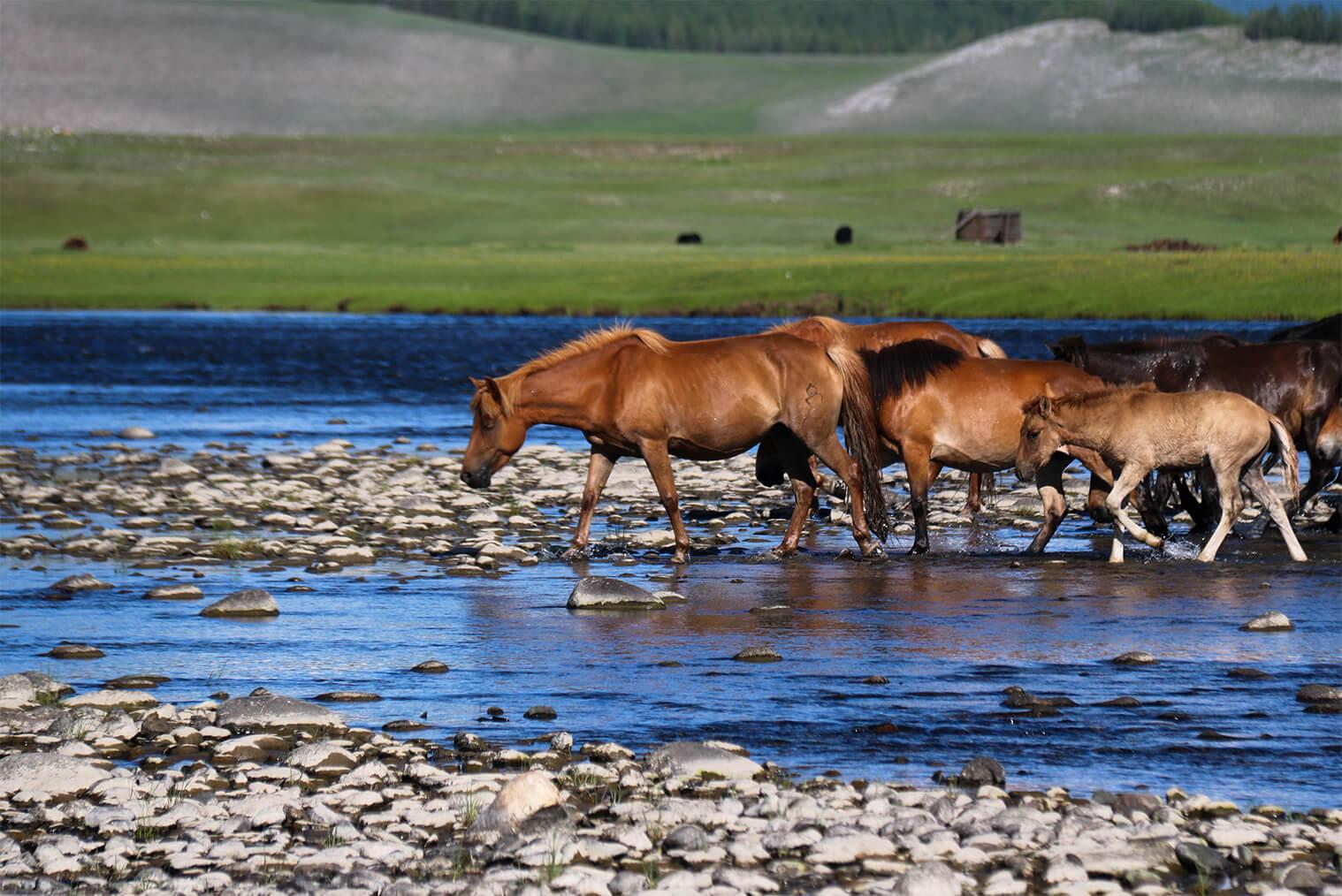 Typický mongolský obraz - voľne sa pasúce kone